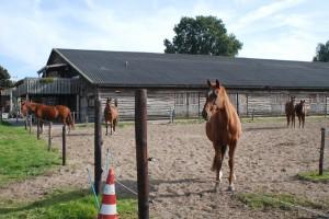stal paarden